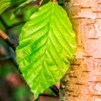 ingredients-birch