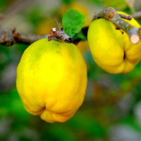 ingredients-quince